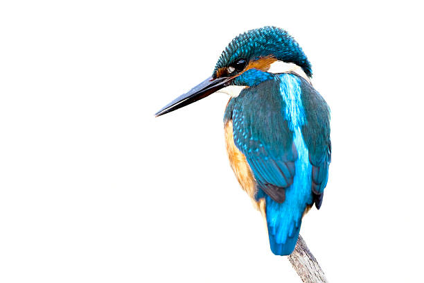 Kingfisher  (Alcedo atthis)  kingfisher stock pictures, royalty-free photos & images