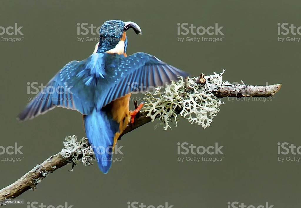 Kingfisher royalty-free stock photo