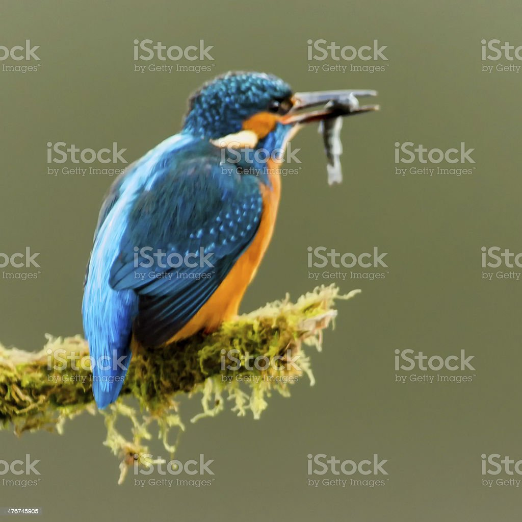 Kingfisher royalty-free stock photo
