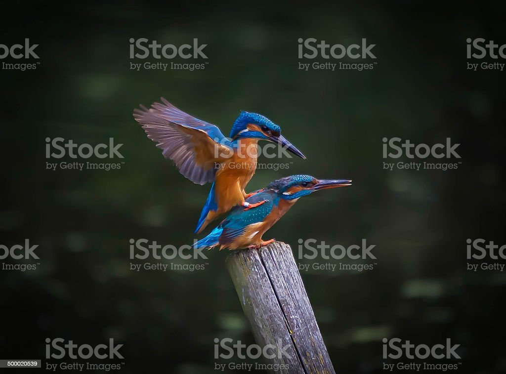 Kingfisher stock photo