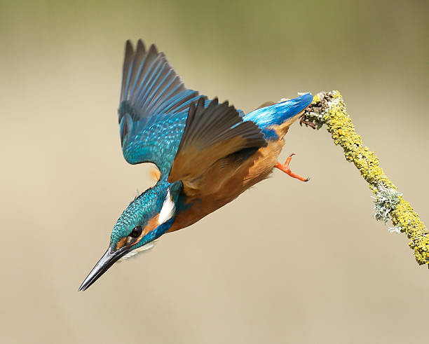 Kingfisher Kingfisher flying down from a branch kingfisher stock pictures, royalty-free photos & images