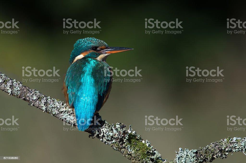 Martin pescatore (Alcedo Atthis foto stock royalty-free