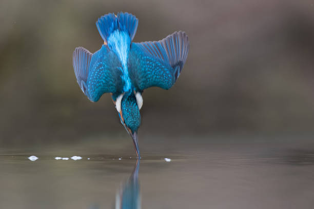 Kingfisher Diving for fish kingfisher stock pictures, royalty-free photos & images
