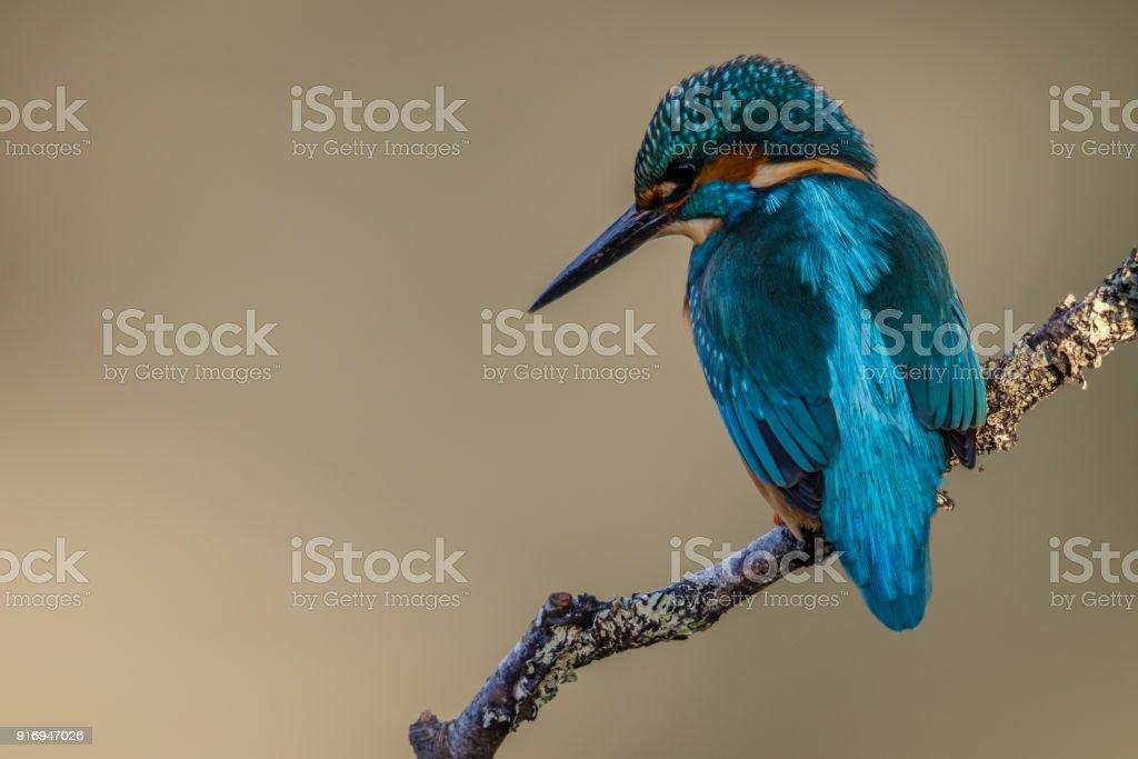 UK Kingfisher stock photo
