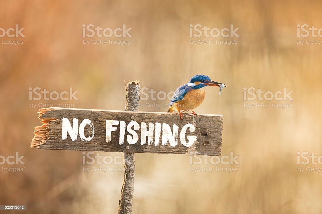 Kingfisher posing on no fishing sign with fish in beak - Photo