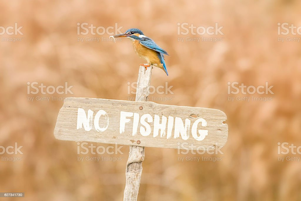 Kingfisher posing on no fishing sign with fish in beak stock photo