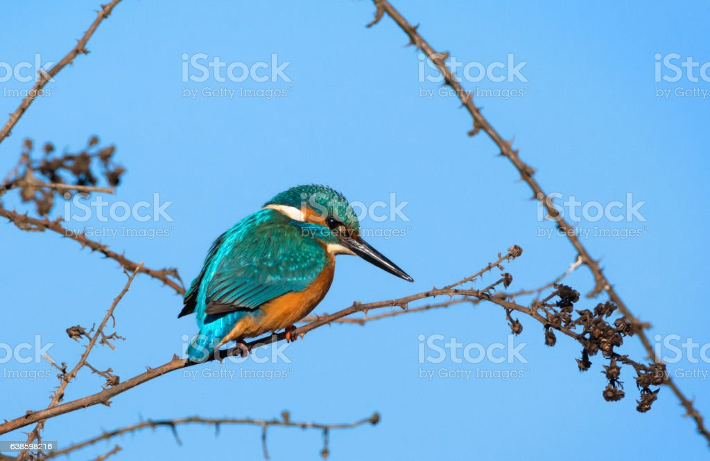 kingfisher sitting on a branch stock photo