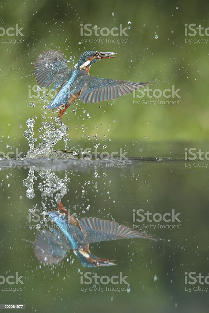 Kingfisher with catch. stock photo