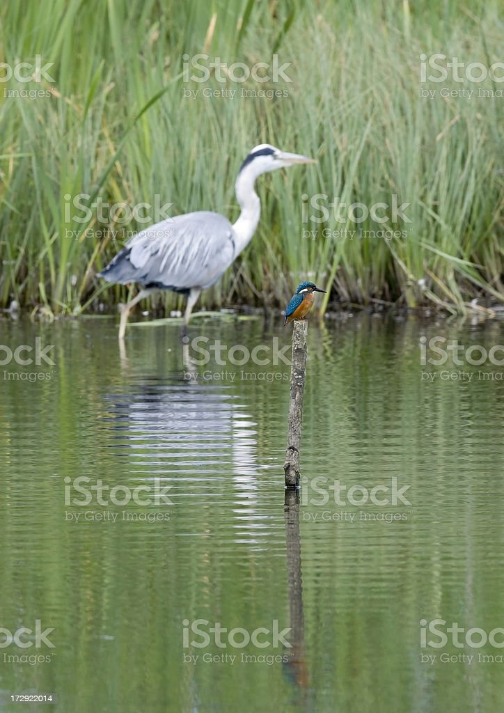 Kingfisher with Heron in background royalty-free stock photo