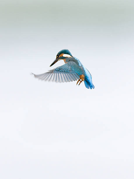 kingfisher with wings spread in flight - ijsvogels stockfoto's en -beelden