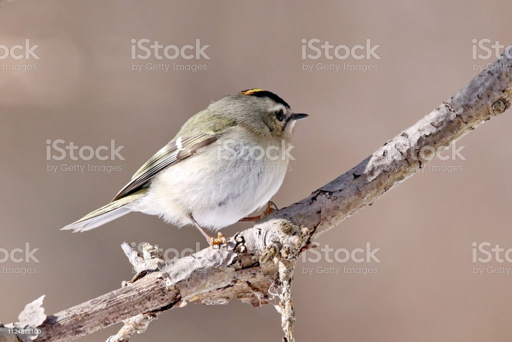 Kinglet stock photo