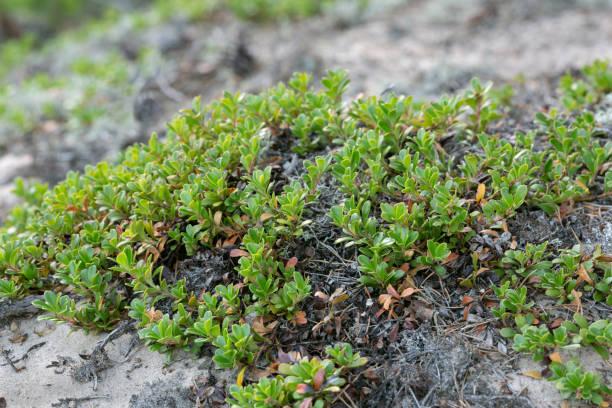 Kinnikinnick, Arctostaphylos uva-ursi plants growing in dry sandy environment stock photo