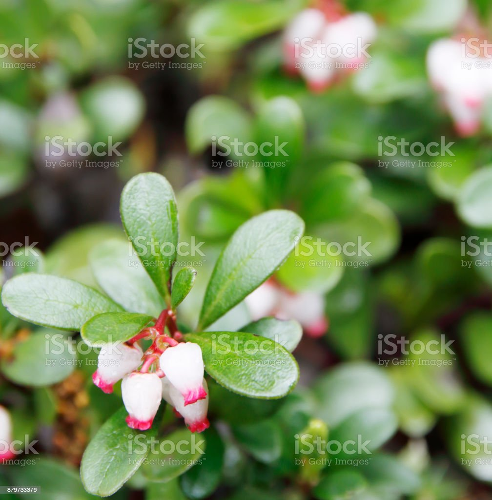 Kinnikinnick, Bearberry (Arctostaphylos uva-ursi) stock photo