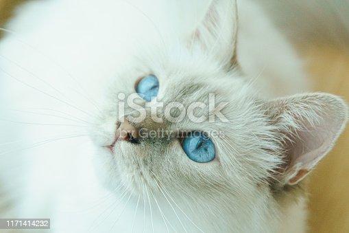 White Birman cat with beautiful blue eyes