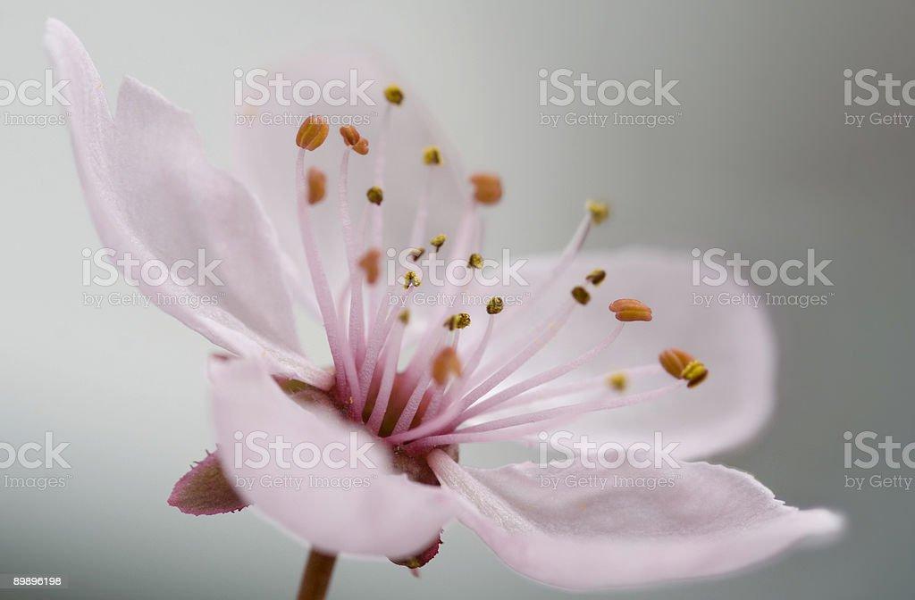 Kirschblüte-Cerezos en flor foto de stock libre de derechos