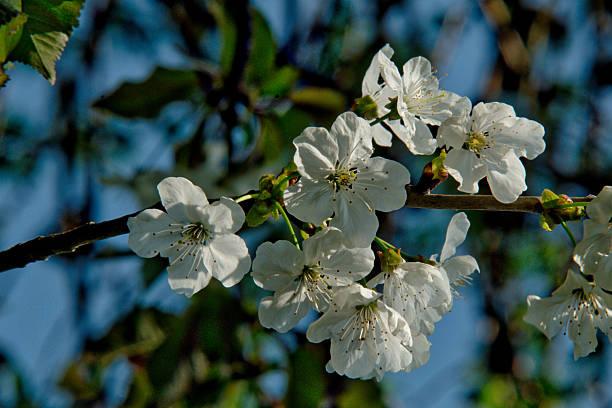Cherry Blossom Festival – Foto