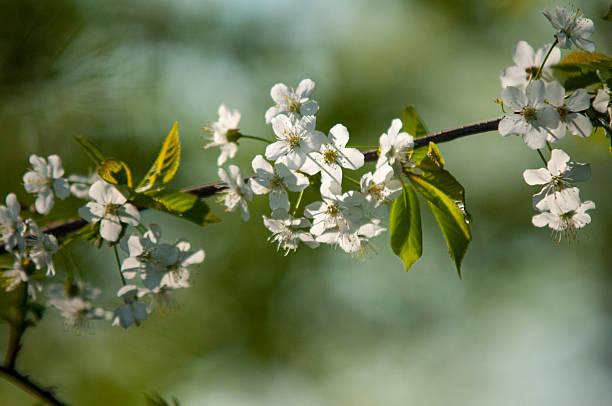 Kirschblüten – Foto