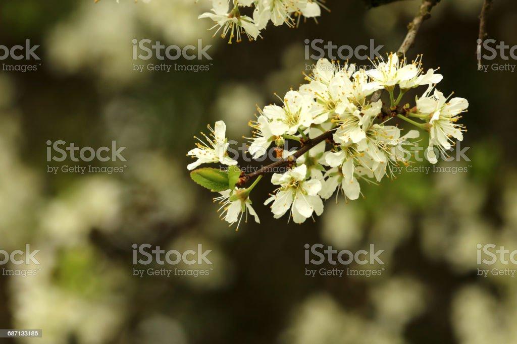 Kirschblüten stock photo