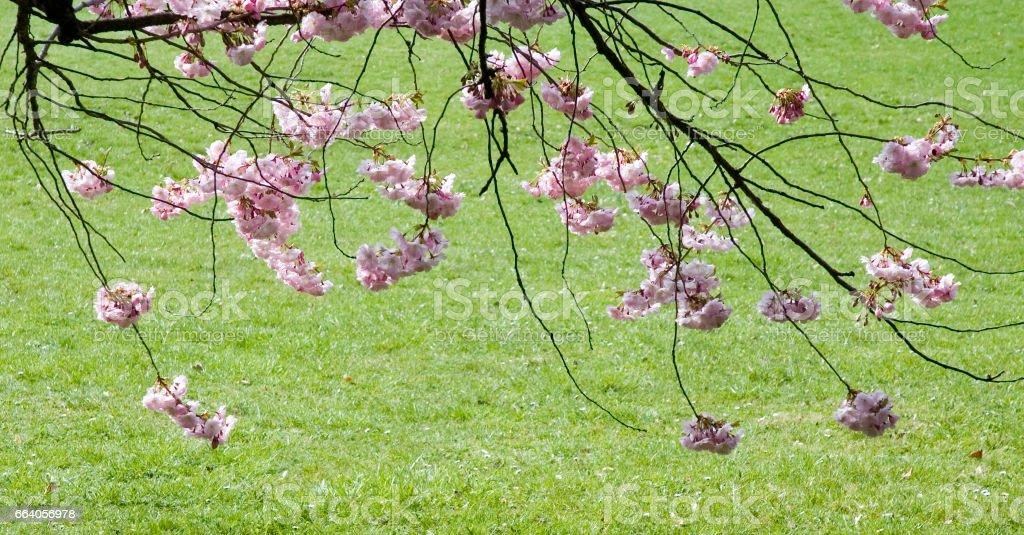 Kirschblütenzweige stock photo
