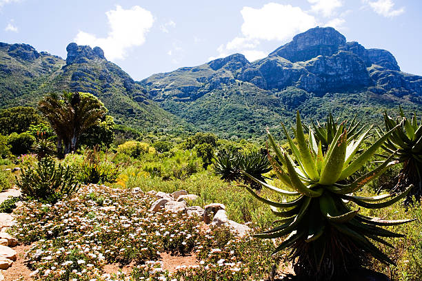 Kirstenbosch Botanical Garden South Africa's National Botanical Garden at Kirstenbosch, Cape Town. Focus is on the aloe in the foreground. Camera: Canon 5D. western cape province stock pictures, royalty-free photos & images