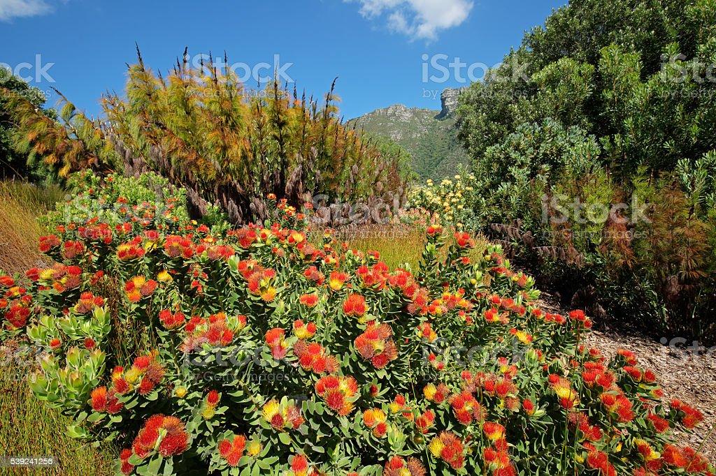 Jardines botánicos de Kirstenbosch foto de stock libre de derechos