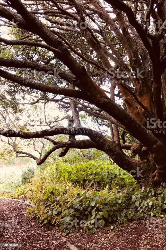 Kirstenbosch Oak - Стоковые фото Африка роялти-фри