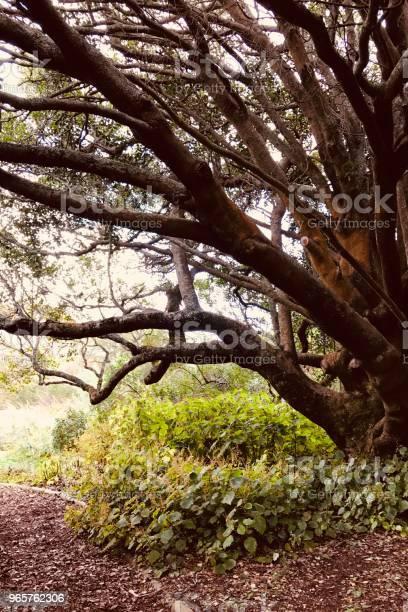 Kirstenbosch Oak — стоковые фотографии и другие картинки Африка
