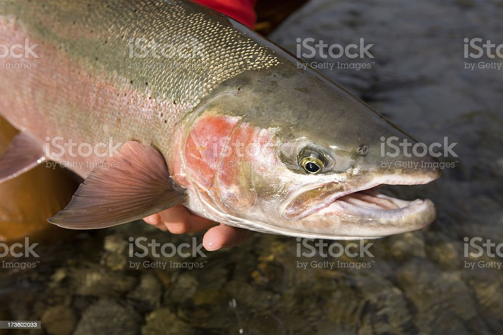 Kispiox River Steelhead stock photo