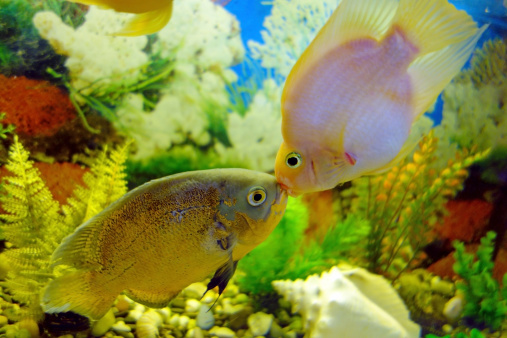 Kiss Astronotus and red parrot (cichlid) in an aquarium