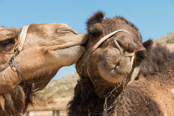 beso en camello - camello fotografías e imágenes de stock