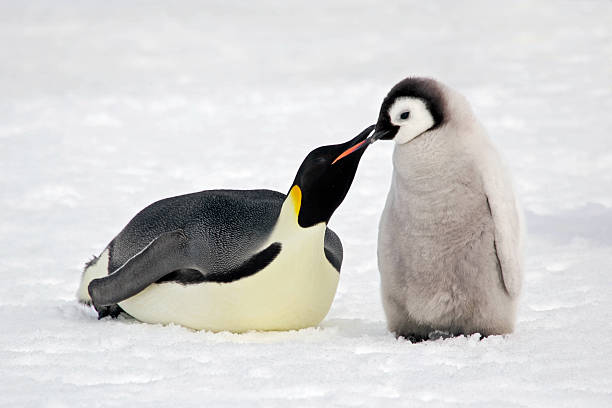 Kiss of the Emperor  emperor penguin stock pictures, royalty-free photos & images
