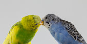 Kiss wavy parrots. Little birds touched each other's beaks Close up