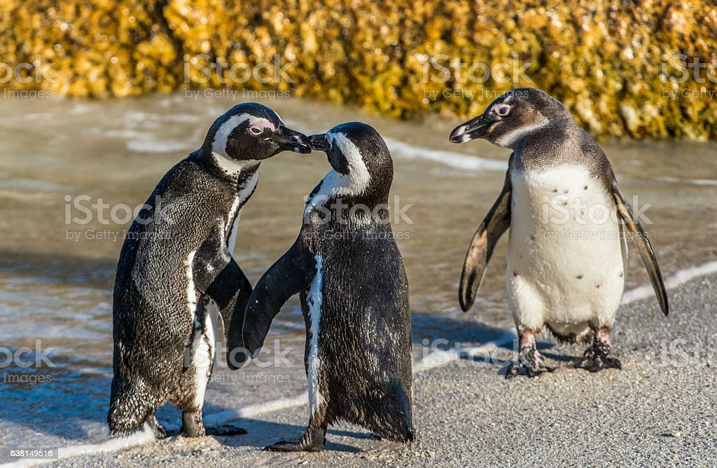 Kissing African penguins on the beach. stock photo