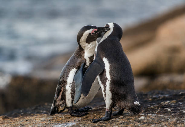 Kissing African penguins on the rock. stock photo