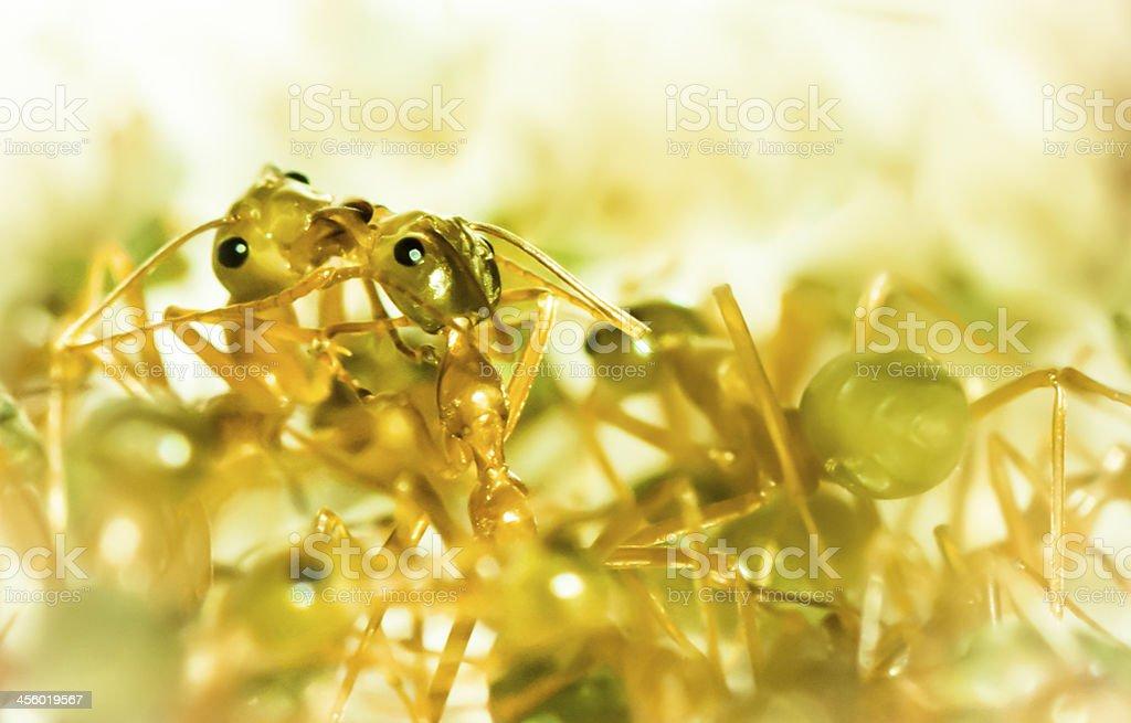 Kissing ants royalty-free stock photo
