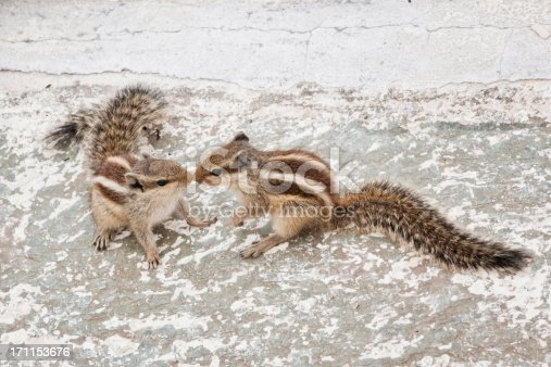 Chipmunk touch with the tip of the nose - seen in indiaChipmunk Love Story :