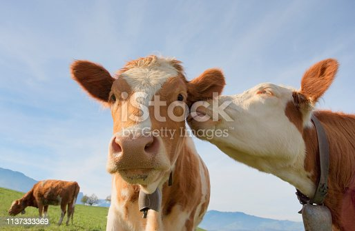 A cow giving another affection