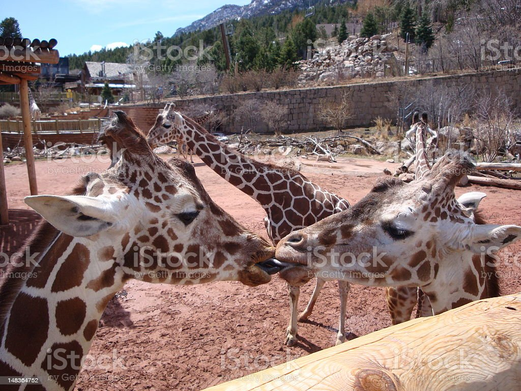 Kissing Giraffes stock photo