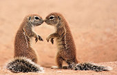 Kissing ground Squirrels