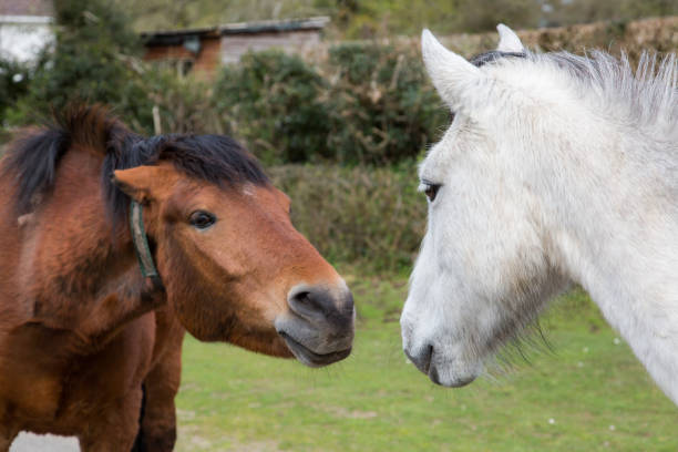 Royalty Free Male Horse Mating With Male Horse Pictures