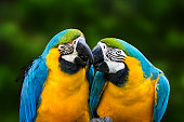 Parrot couple in love. Close-up of kissing macaw parrots (Gold And Blue Macaw)