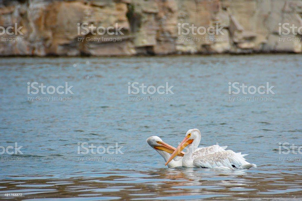 Kissing Pelicans stock photo
