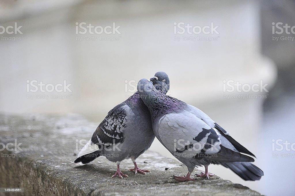 """Résultat de recherche d'images pour """"couple de pigeons"""""""