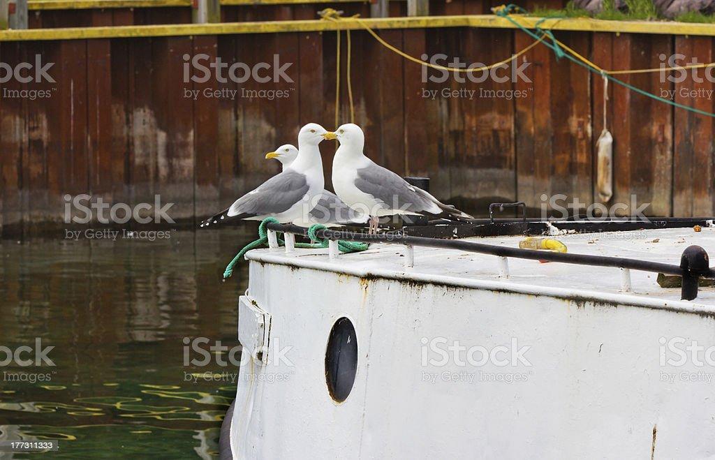 Kissing Seagulls stock photo