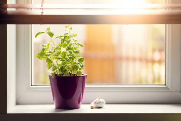 gemüsegarten - basilikum im topf auf der fensterbank - küche deko lila stock-fotos und bilder