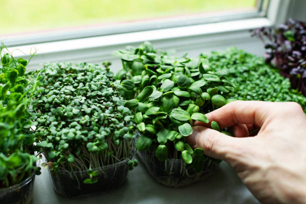 kitchen garden - microgreens growing on windowsill stock photo