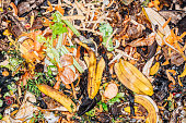 Freshly added kitchen compost in an outdoor compost bin. This includes banana skins, onions, carrots, parsnips and celery.