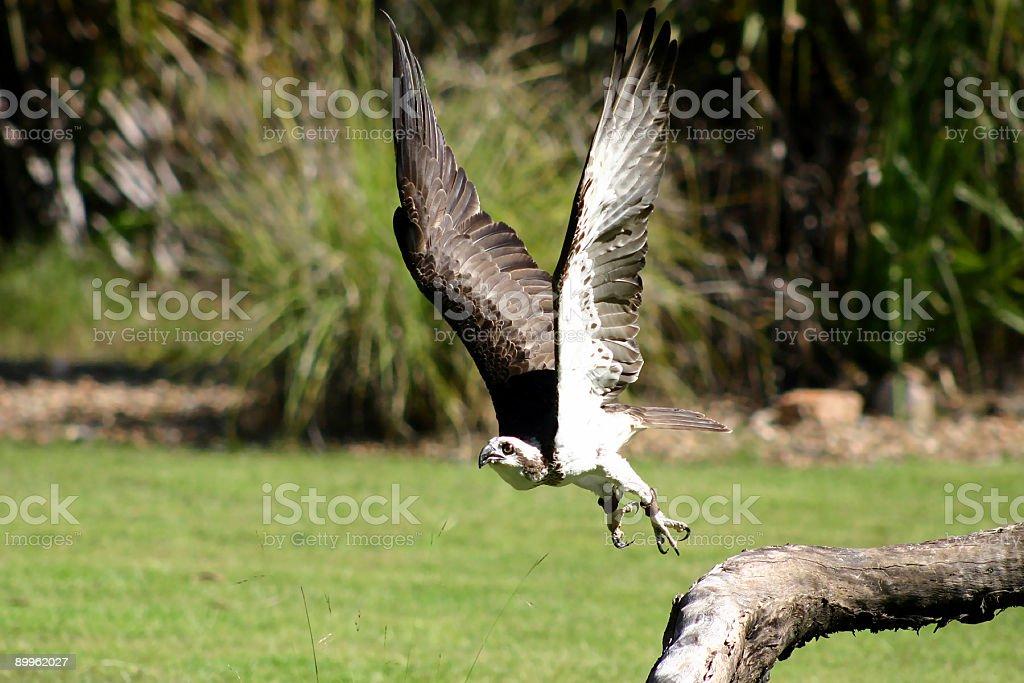 Kite in flight Bird of Prey stock photo