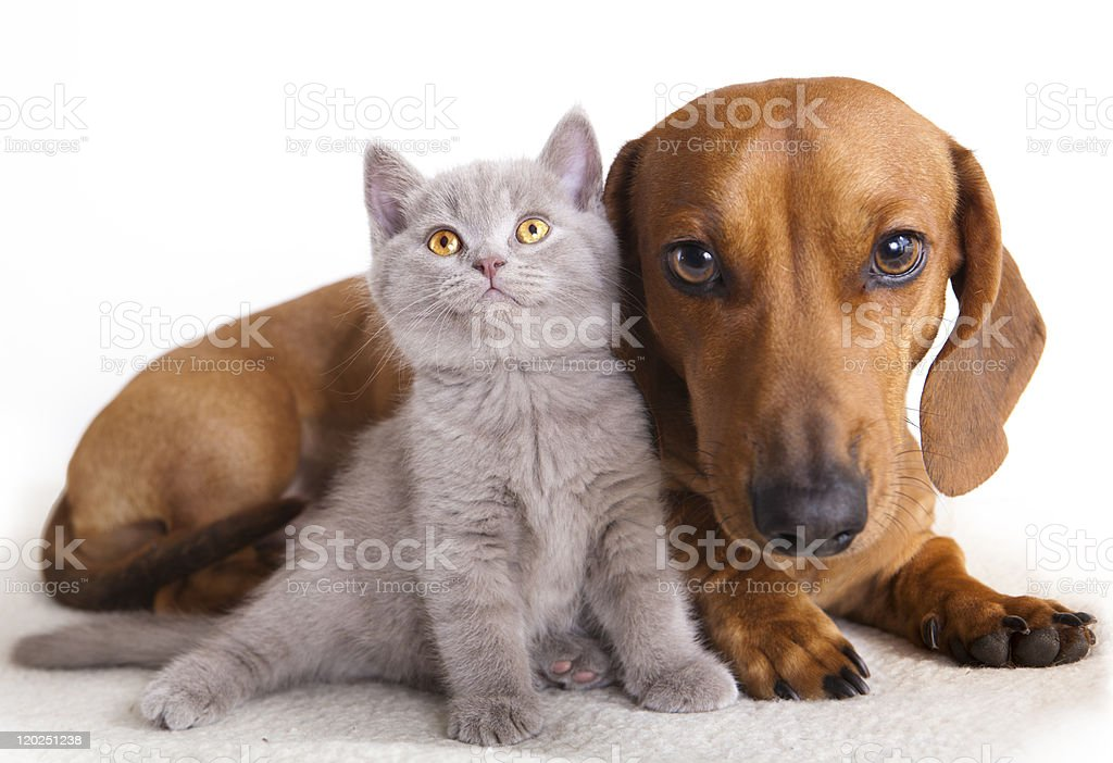 A kitten and a dachshund against a white background royalty-free stock photo