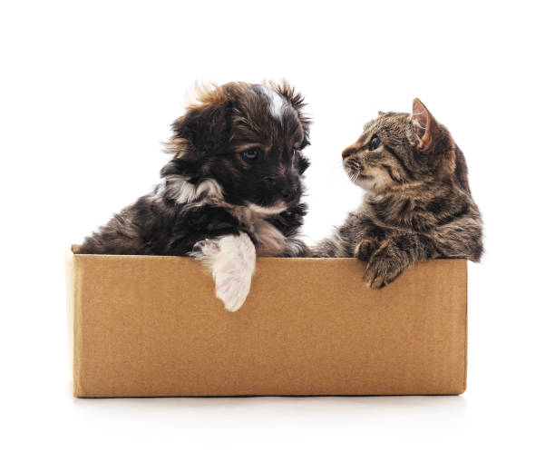 Kitten and a puppy in the box picture id1126858754?b=1&k=6&m=1126858754&s=612x612&w=0&h=b2mtmzl3imelyvhzlhfibgouvnaaf3at3lnzc 6s1b8=